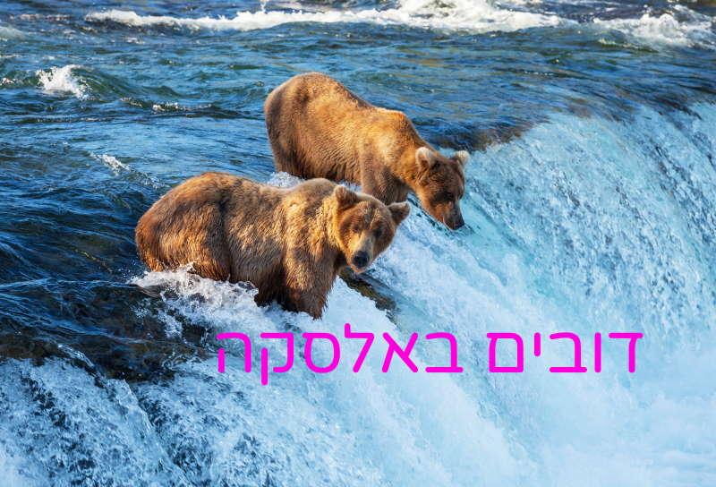אלסקה דובים בנהר